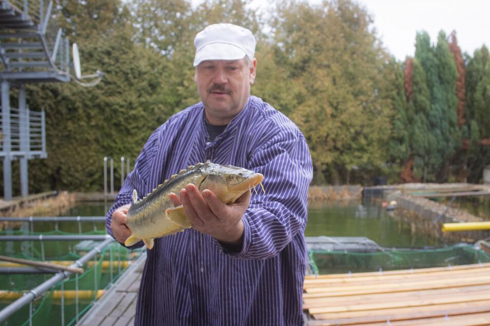 Neu in den Becken bei Holger Teuser in Pulsnitz ist der Stör – ein ganz besonderer Fisch.
