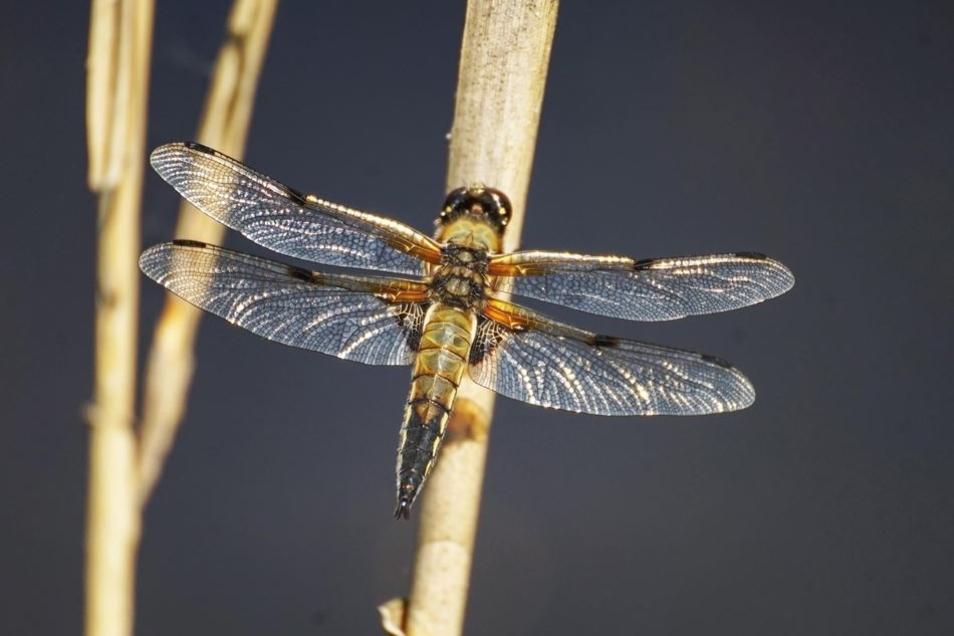 Die Vierflecklibelle gehört zu den häufigsten Arten im Heide- und Teichland.