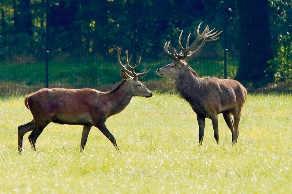 Aktiv sind die Tiere vom Rotwild jedenfalls in diesen Wochen innerhalb des zehn Hektar großen Geländes.