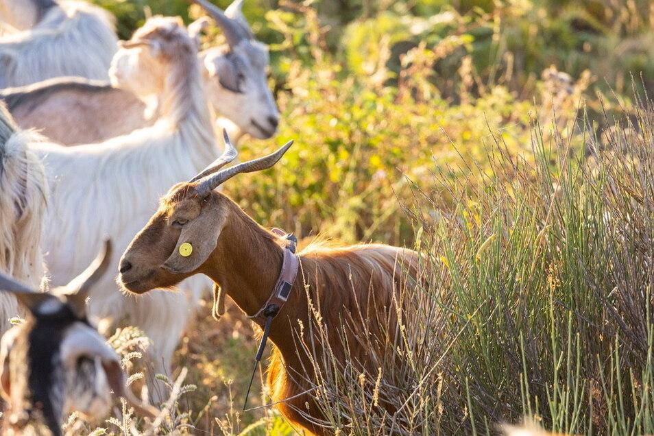 Ziegen am Vulkan Ätna auf Sizilien tragen die Sender als Ohrmarke. So werden die Tiere zum lebendigen Frühwarnsystem für Vulkanausbrüche.