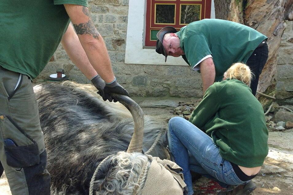 Yak am Boden: Der Görlitzer Tierparkchef Sven Hammer (rechts) und seine Mitarbeiter haben Mühe, das Tier unter Narkose zu bändigen.