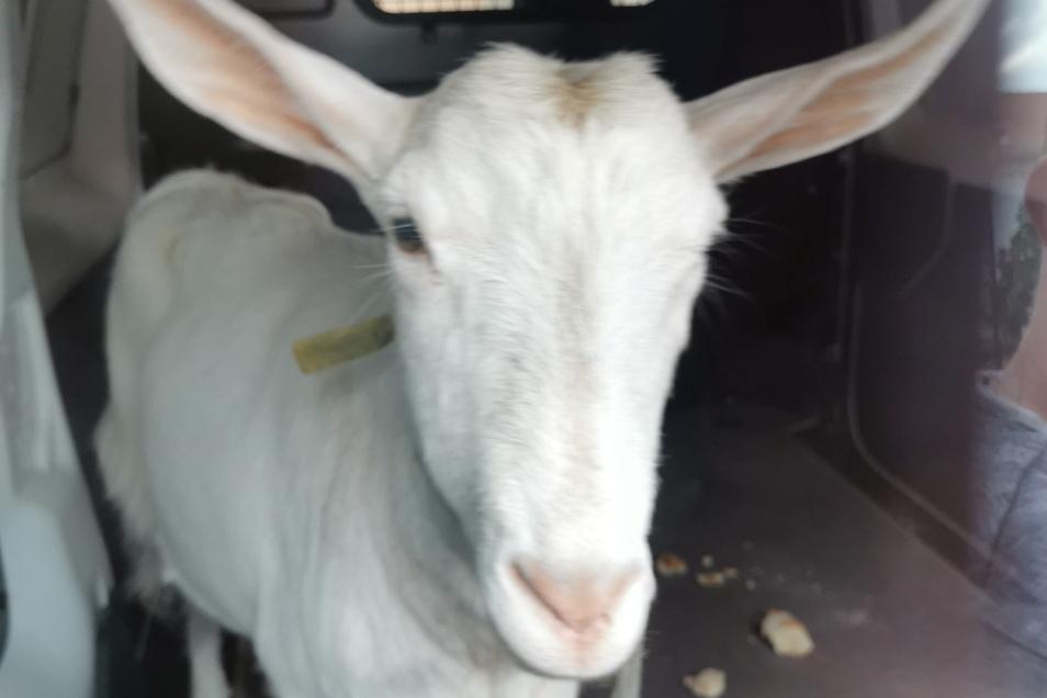 Im Kleinbus wurde das Tier zur Stadtgärtnerei gebracht.