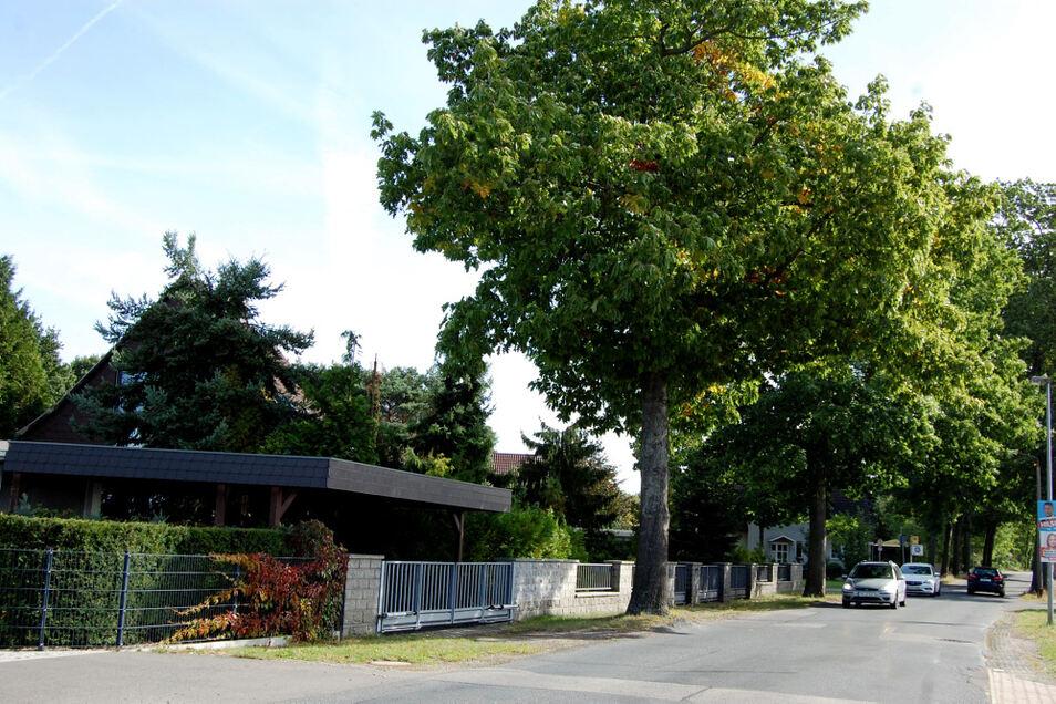 Wird die Kühnichter Straße saniert, so müssten wohl Bäume weg.