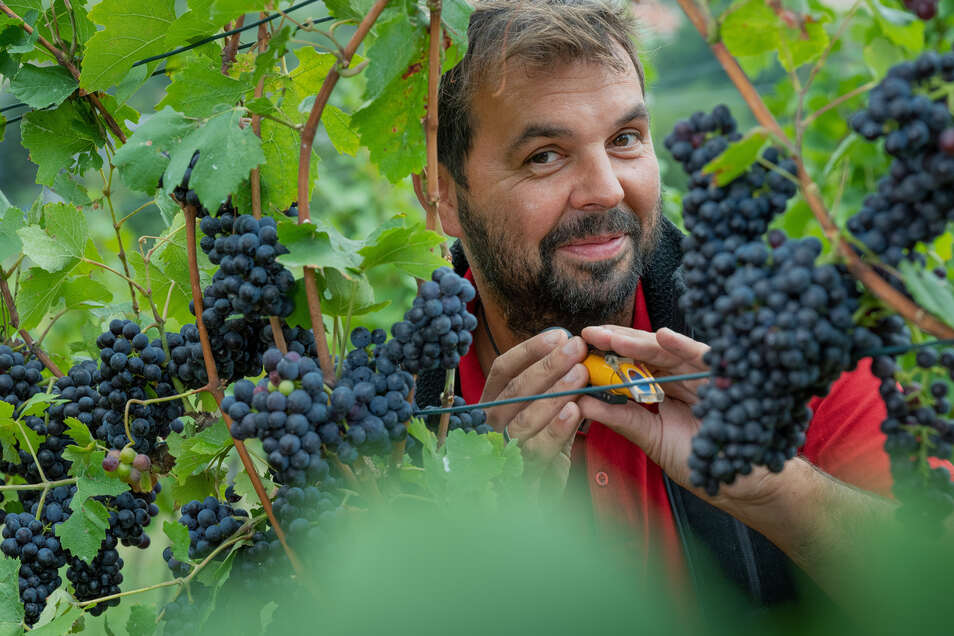 Mit einem Refraktometer misst Karsten Lindhardt den Zuckergehalt im Most. Die Spätburgunder-Trauben baut der Jungwinzen in seinem Weinberg in Dresden-Pillnitz an.