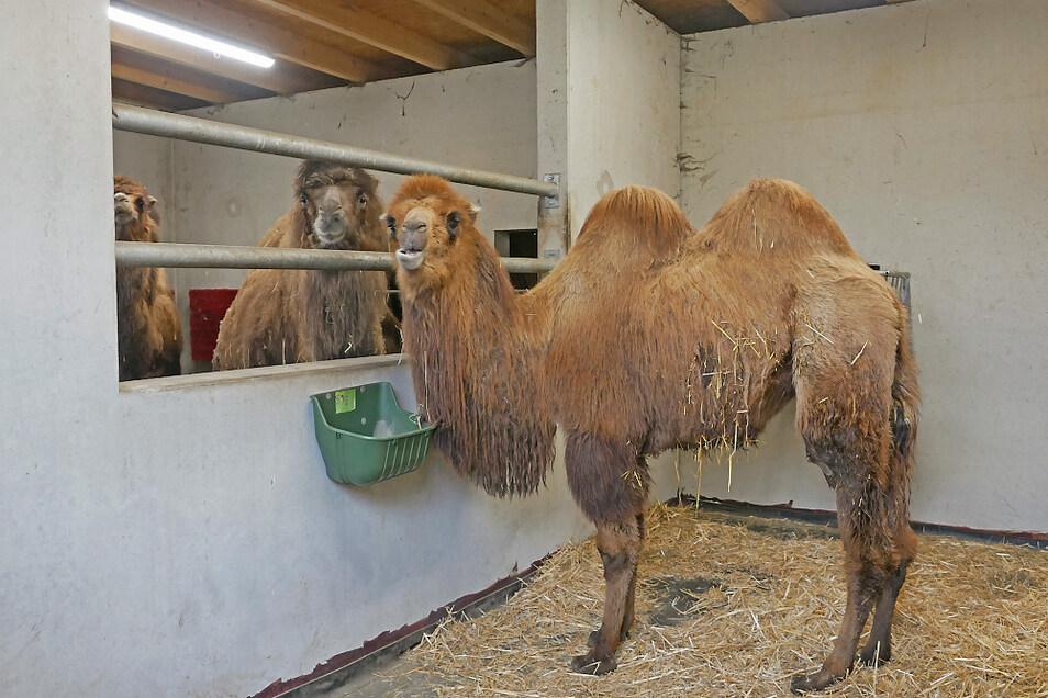 Neuerdings lebt die junge Trampeltier-Dame Soraya im Zoo Hoyerswerda - zur Eingewöhnung erst mal im Stall.