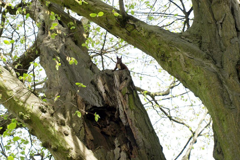 Das Eichhörnchen freut sich über die Höhle im Stamm, den Menschen bereitet sie Kopfschmerzen. Erst recht, wenn es sich um alte Baumriesen handelt. Die Buchen im Pückler-Park sind 200 Jahre, in Städten werden sie nur um die 80 Jahre.