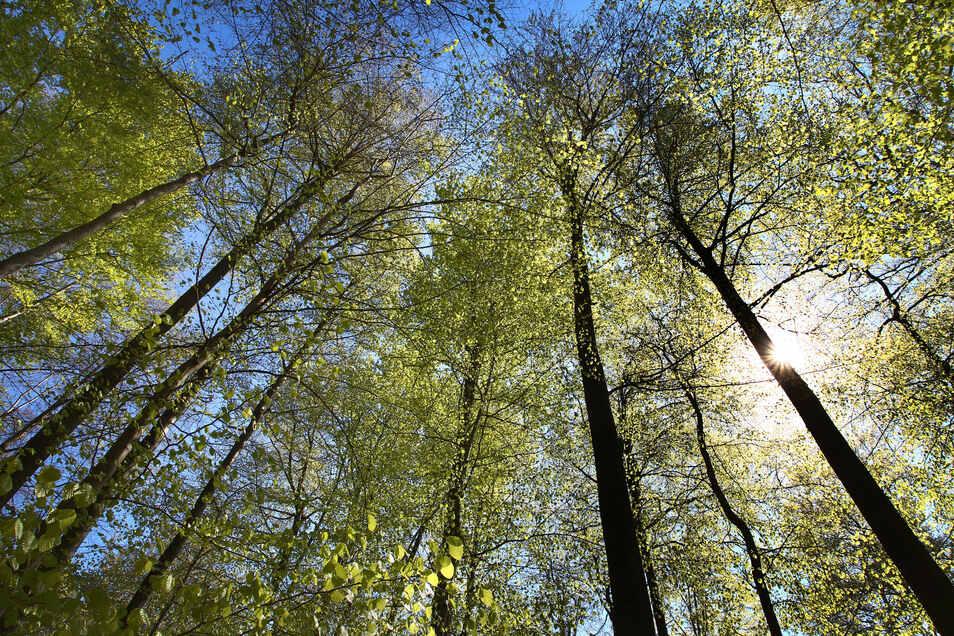 Bayern, Rohrbrunn: Buchen stehen bei Sonnenlicht in einem Wald. Der Baum leidet unter Dürre und Schädlingen.