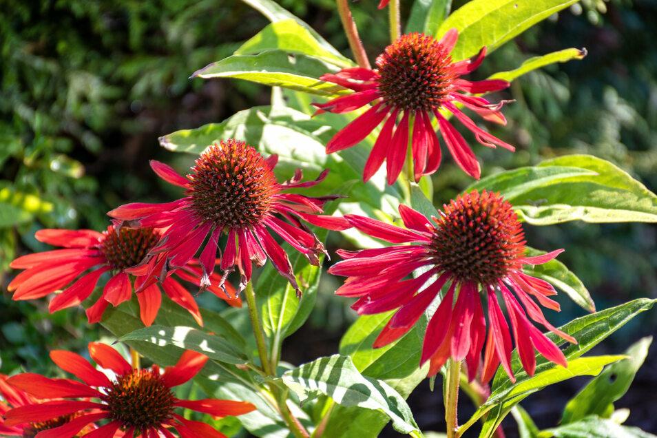In Reinhard Zerges Garten blüht immer etwas, wenn auch jetzt im Sommer weniger als im Frühjahr. Der Sonnenhut gehört jetzt zu den Pflanzen, die Farbe in den Garten bringen. Auch einige Rosensorten zeigen das ganze Jahr über Blüten. Wenn die Rosen gesund sind, können sie bis in den Spätherbst Blüten tragen.