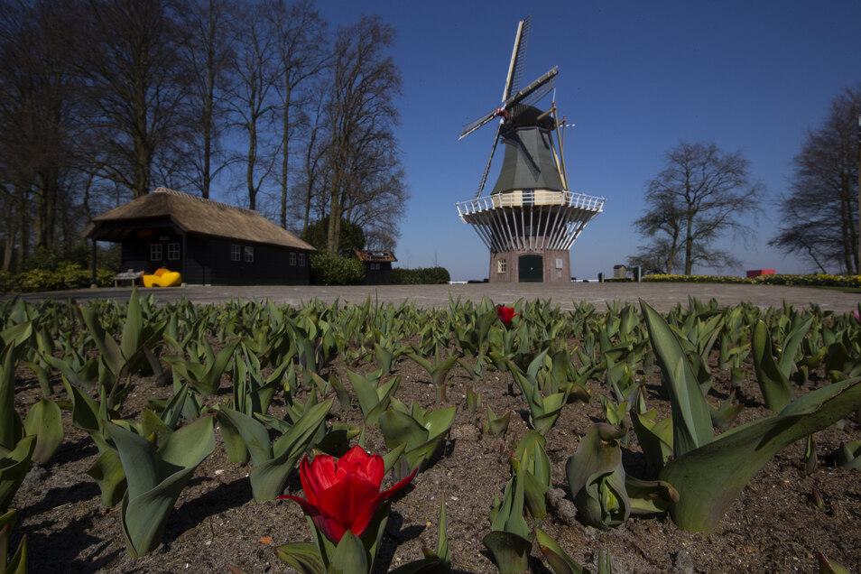 Tulpen blühen im Botanischen Garten Keukenhof, der aufgrund der Ausgangsbeschränkungen zur Eindämmung des Virus geschlossen ist.