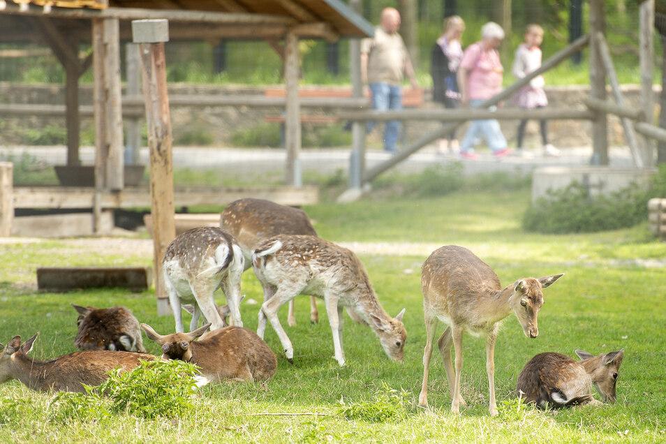 Viel zu gucken: Mehr als 1.685 Besucher sind am Wochenende durch das Moritzburger Wildgehege geschlendert. Erster Anziehungspunkt ist für viele das Damwild, zu finden gleich nach dem Eingang.