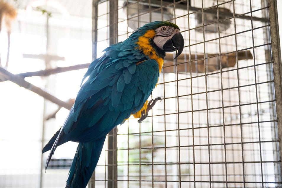 Noch ist Gelbbrustara Willi in der Görlitzer Zoohandlung Zwahr zuhause, nächste Woche soll er in den Zittauer Tierpark umziehen.