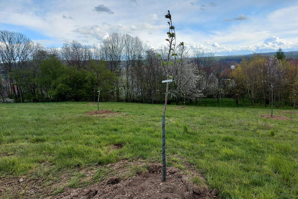 Die Bäume für die 2017 in Roßwein gepflanzten Bäume sind jetzt an ihren endgültigen Standort am Stiefelweg umgezogen.