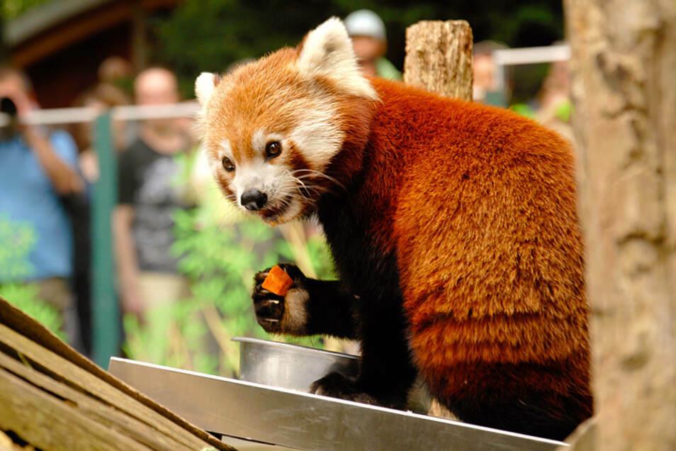 Die Kinder durften im Görlitzer Tierpark unter anderem die roten Pandas bestaunen.