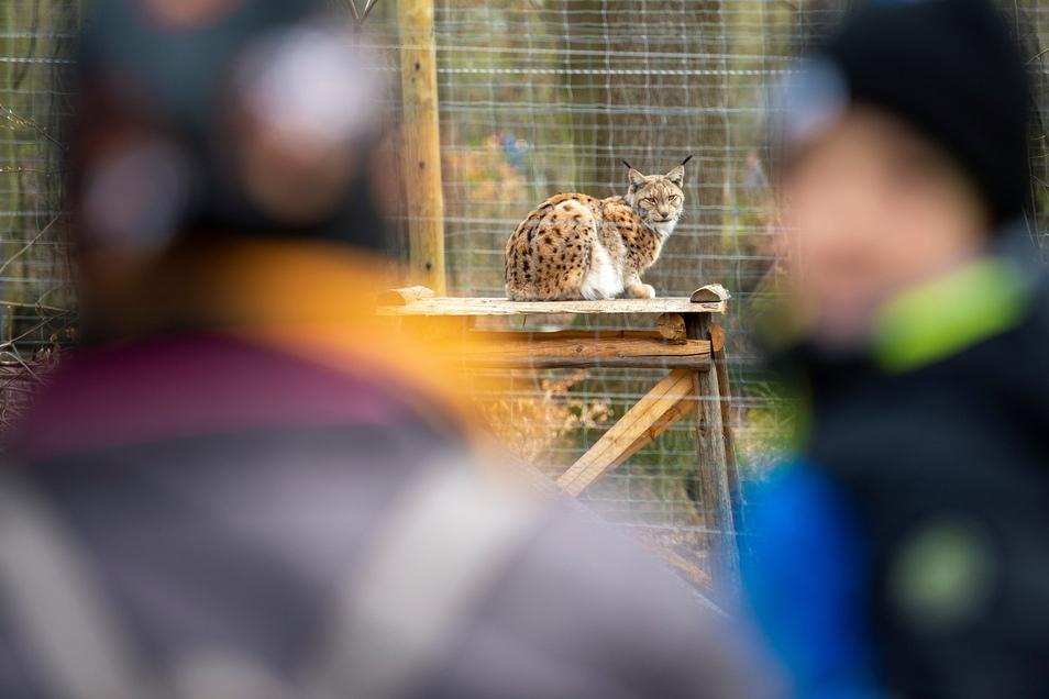 Besucher beobachten im Wildgehege in Moritzburg einen Luchs. Das ist trotz der Corona-Notbremse des Bundes auch weiterhin möglich.