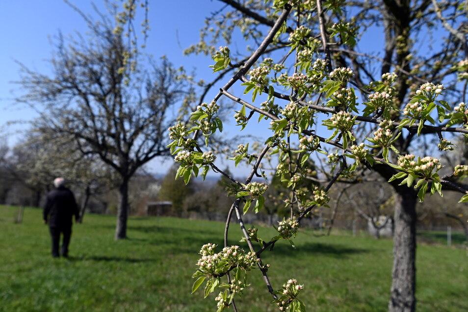 Birnenblüten auf einer Streuobstwiese in Karlsruhe.