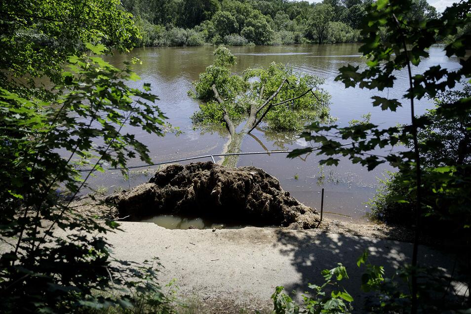 Einer der Bäume, die am Neißeufer ins Wasser gestürzt sind.
