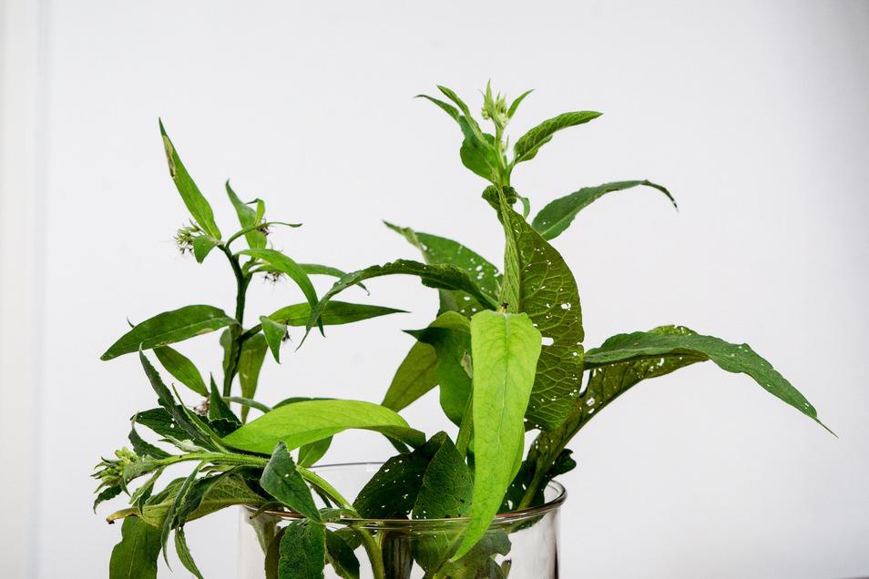 Eine Beinwellpflanze - der Ursprung der von Saskia Riethmüller hergestellten Naturkosmetik. Die Pflanzen baut sie selbst an.
