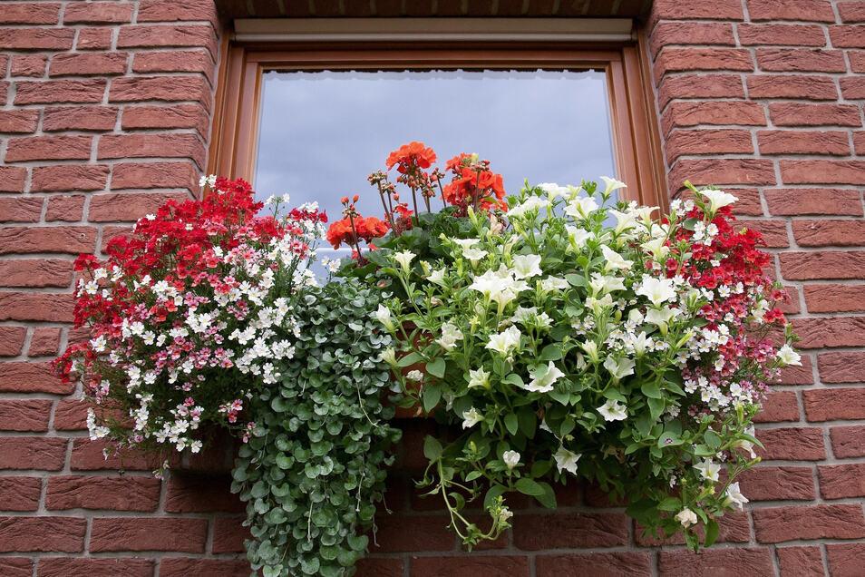 Damit Dauerblüher immer neue Blüten produzieren können, brauchen sie auch Nahrung - sie sollten daher regelmäßig gedüngt werden.