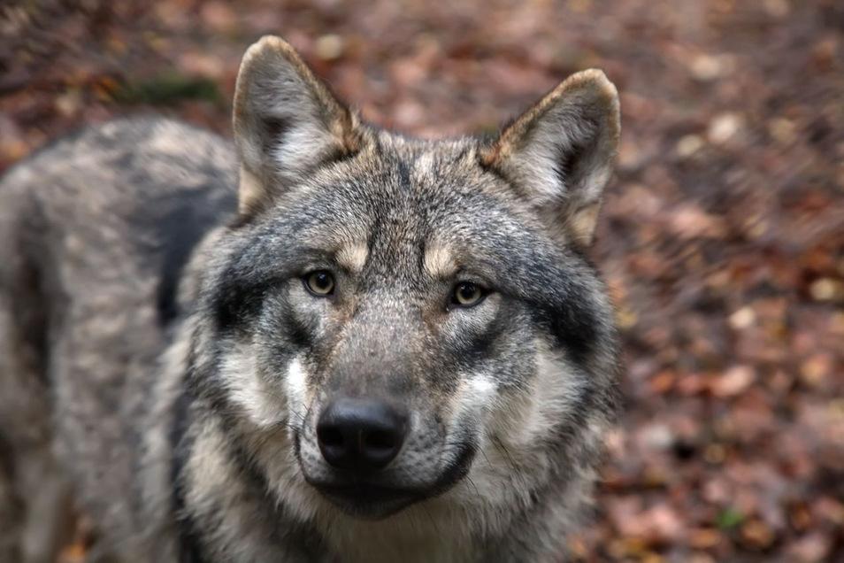 In der Dresdner Heide zwischen Hofewiese und Dachsenberg siedelte sich eine Wolfsfamilie mit Jungen an.