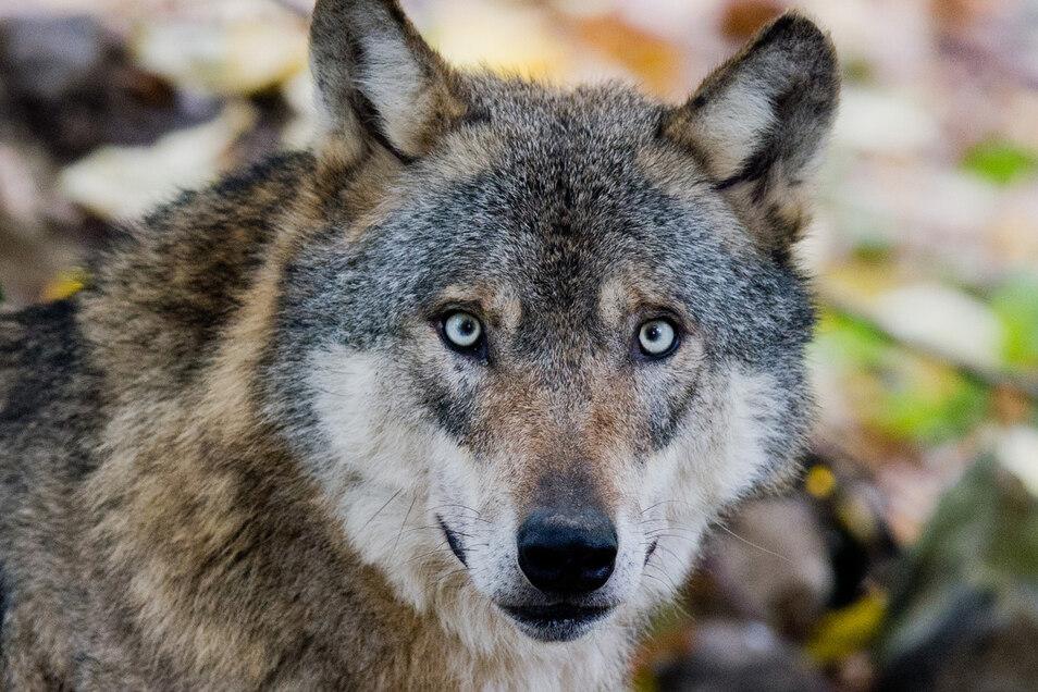 Immer wieder haben Hochland-Bewohner Wölfe in der letzten Zeit beobachtet.