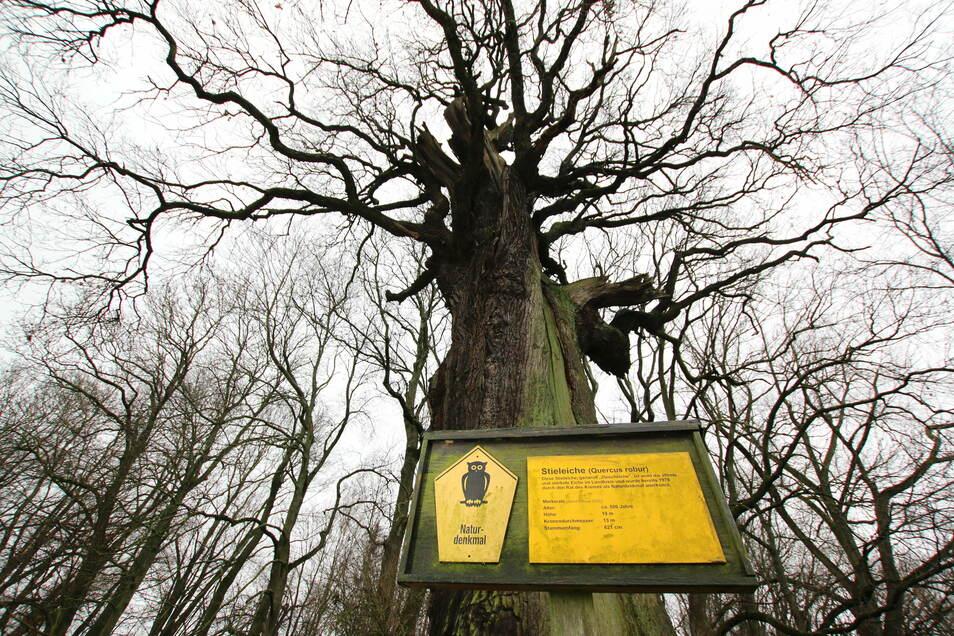 Die Ziescheiche bei Hochweitzschen ist mit etwa 500 Jahren einer der ältesten Bäume in der Region. Sie steht unter Schutz.
