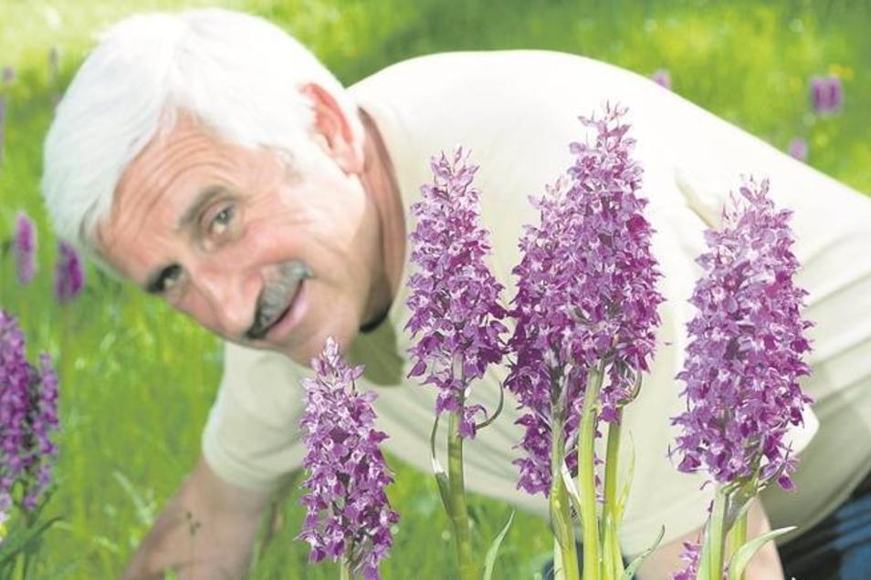 Die violetten Blütenstände des breitblättrigen Knabenkrautes leuchten vor der grasgrünen Wiese. Landschaftspfleger Mathias Roitzsch ist begeistert von der Blütenpracht, die einzigartig ist in der Sächsischen Schweiz. Mehr als 2000 Pflanzen wurden 2013 in