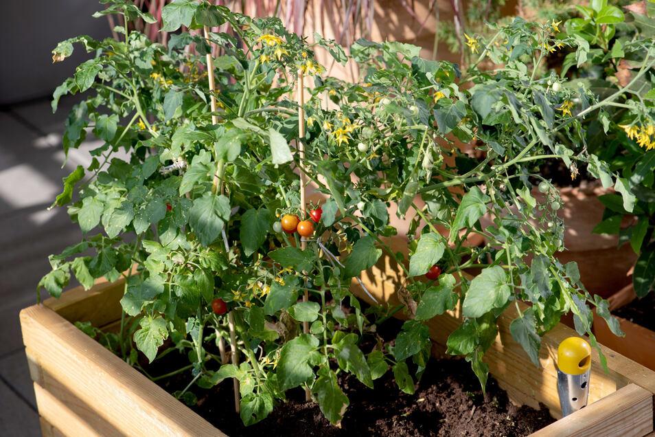 Pflanzen im Topf - wie diese Tomate - brauchen regelmäßig Dünger.