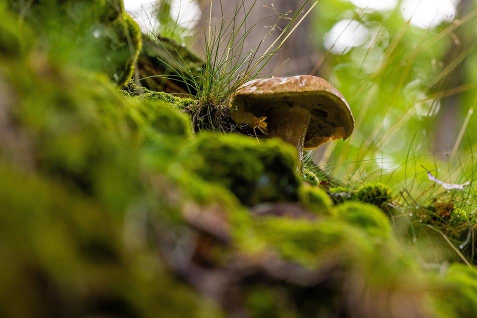 Vorboten der Pilzsaison: Zwischen Moos und zierlichen Gräsern ragen entlang der Wege am Müglitzhang Sommer-Steinpilze empor.