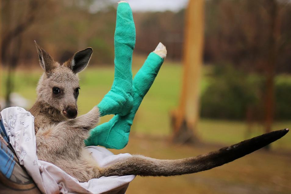 """Das kleine, verwaiste Östliches Graues Riesenkänguru """"Qantas"""", dessen Pfoten bei den Buschfeuern verbrannt wurden, wird in der Tierschutzorganisation Wires versorgt."""