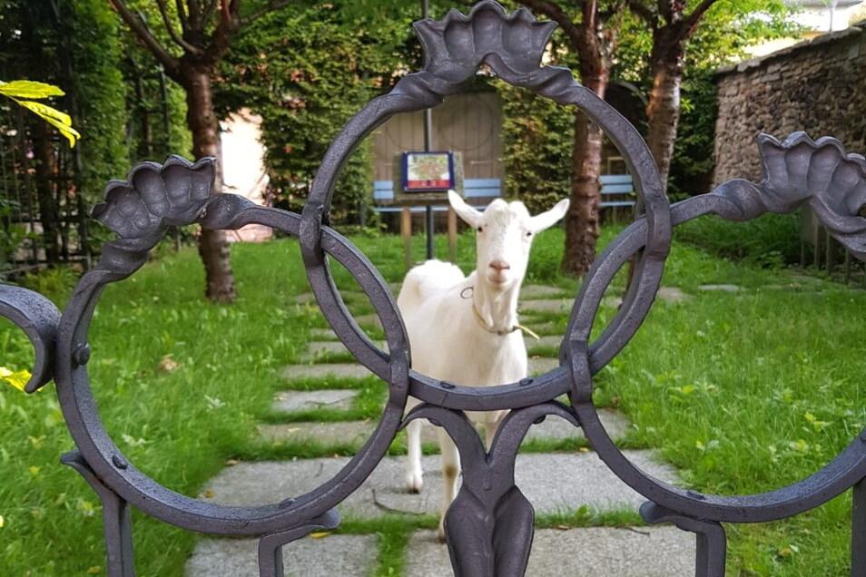 Am Freitagmorgen stand plötzlich eine Ziege im kleinen Park neben der Lessing-Gedenkstätte in Kamenz. Wem ist sie ausgebüxt?