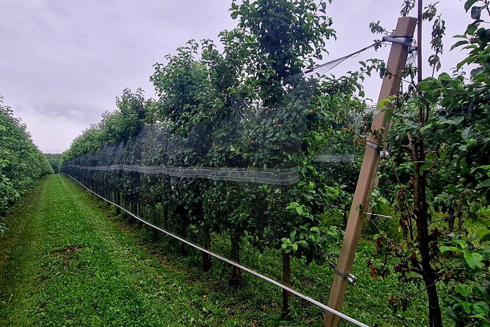 In neu angelegten Apfelplantagen sind Hagelschutznetze bei der Obstland Dürrweitzschen AG jetzt Standard. Aber auch andere Früchte werden geschützt angebaut.