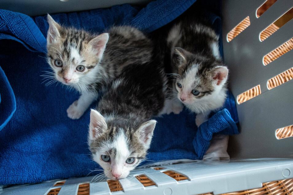 Drei kleine Katzenbabys werden derzeit von Michaela Filla von der Roßweiner Katzeninitiative versorgt. Sie rettete sie vor dem sicheren Tod.