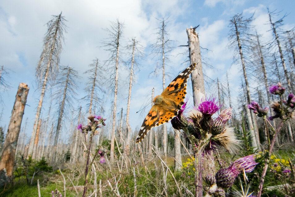 Ein Schmetterling sitzt in einem vom Borkenkäfer zerstörten Fichtenwald.