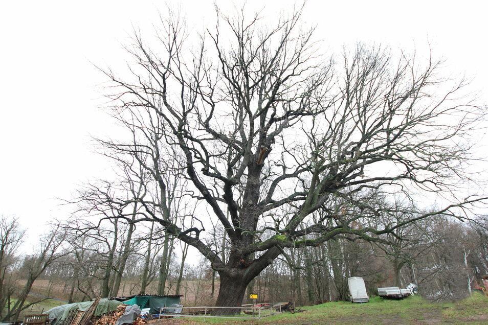 Ein prachtvoller Baum ist die Aueneiche bei Hermsdorf. Sie hat in den vergangenen 80 Jahren ordentlich an Größe zugelegt.