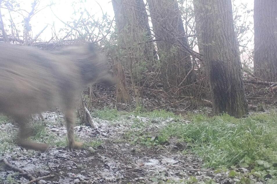 Auf dem Bild einer Wildkamera in einem Waldstück bei Hohenwussen ist höchstwahrscheinlich ein durchlaufender Wolf zu erkennen. Dies wäre eine von mehreren Sichtungen in den vergangenen Wochen.