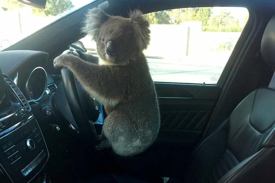 Ein Koala hockt im Wagen von Nadia Tugwell auf dem Lenkrad. Das Tier war gerettet worden, nachdem es beim Versuch, eine sechsspurige Autobahn zu überqueren, eine Massenkarambolage mit fünf Autos verursacht hatte.