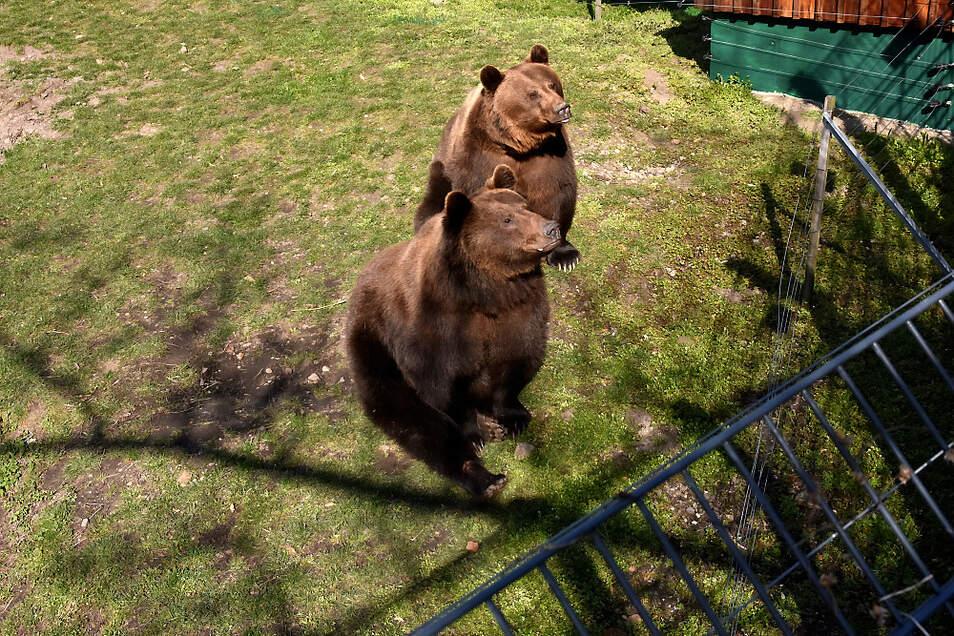 Die Bären Björn & Bengt im Zoo Hoyerswerda.