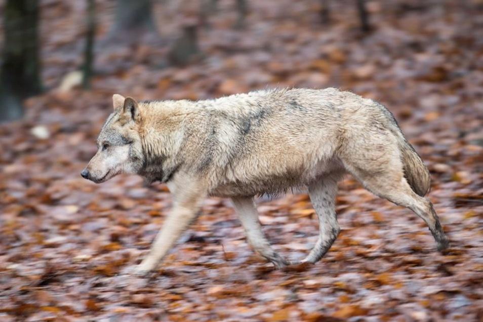 Wie auf diesem Foto aus einem Gehege in Neuhaus streift der Wolf inzwischen auch durch den polnischen Teil des Riesengebirges.