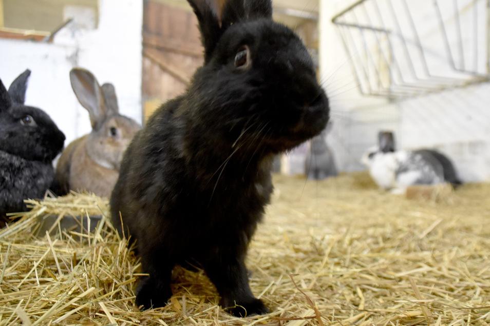 So ruhige Zeiten haben die Kaninchen im Stall noch nie erlebt.