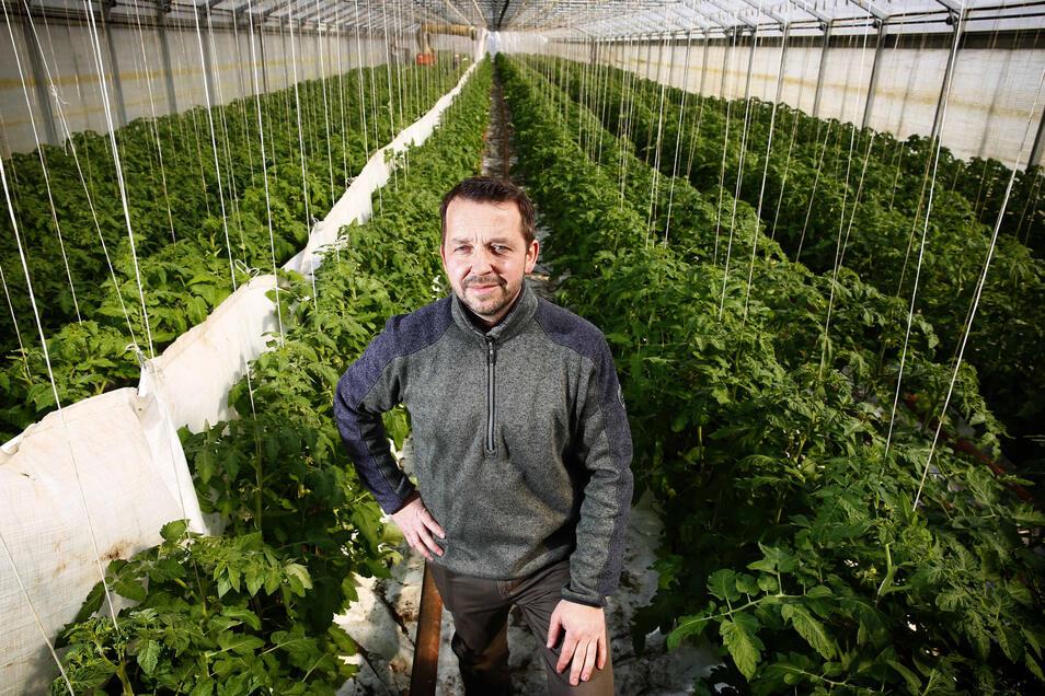 Chef Matthias Domanja (42) zwischen den Tomatenpflanzen, deren Erträge er eigentlich in drei Wochen auf den Wochenmärkten zwischen Kamenz und Dresden, Königswartha und Hoyerswerda verkaufen wollte.