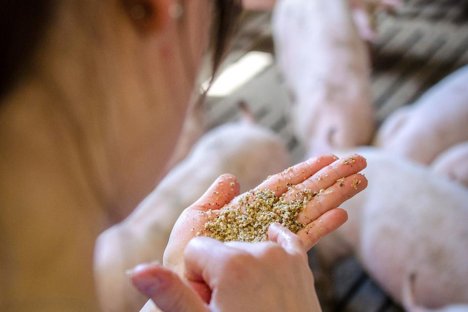 Seit sieben Jahren wird bei der Agraset-Agrargenossenschaft in Naundorf die Fütterung automatisch gesteuert.