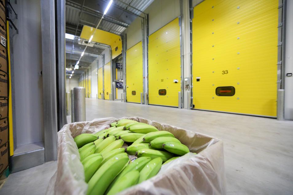 Bananen werden noch grün geerntet und kommen dann in Deutschland in die Reifekammer – hier zum Beispiel in die von Edeka in Borna.