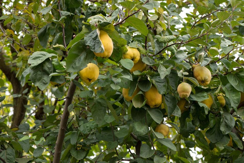 Der Quittenbaum ist sehr widerstandsfähig gegenüber Krankheiten und Schädlingen - sogar robuster als die eng mit ihm verwandten Apfel- und Birnenbäume.