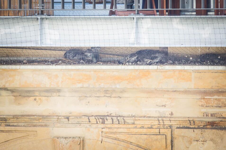 """Tote Tauben liegen seit mehreren Wochen hinter Spikes und Netzen im Gebäudekomplex """"Residenz am Postplatz"""". Sie sind qualvoll gestorben."""