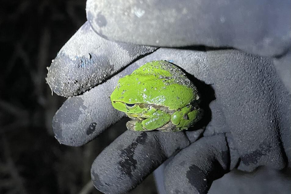 Dieses leuchtend grüne Exemplar eines Laubfrosches saß in einem Eimer. Kurz nach diesem Schnappschuss schwamm er im benachbarten Teich an der Bahn.