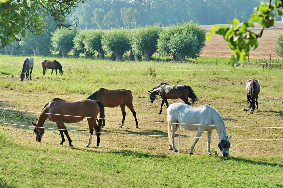Pferde auf der Koppel in Dennschütz bei Lommatzsch. Hier wurde am Mittwoch eine Stute von einem Unbekannten schwer verletzt.