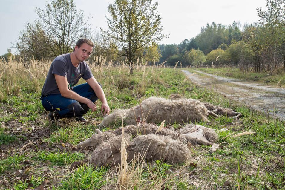 In Förstgen bei Niesky wurden im Oktober knapp 60 Schafe und Ziegen von Wölfen gerissen. Schäfer Felix Wagner musste die Kadaver beseitigen. Insgesamt fielen 2018 in der Oberlausitz über 200 Nutztiere Wölfen zum Opfer.