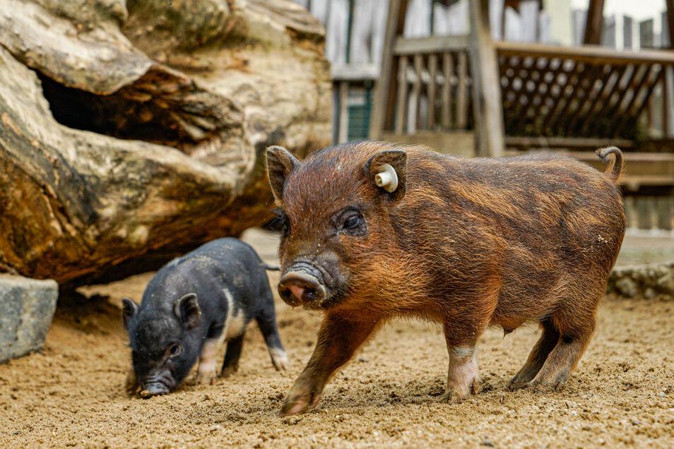 Im Streichelgehege sind derzeit Minischweine und Ziegen in der Überzahl, denn es dürfen nur vier Personen zur selben Zeit hinein.