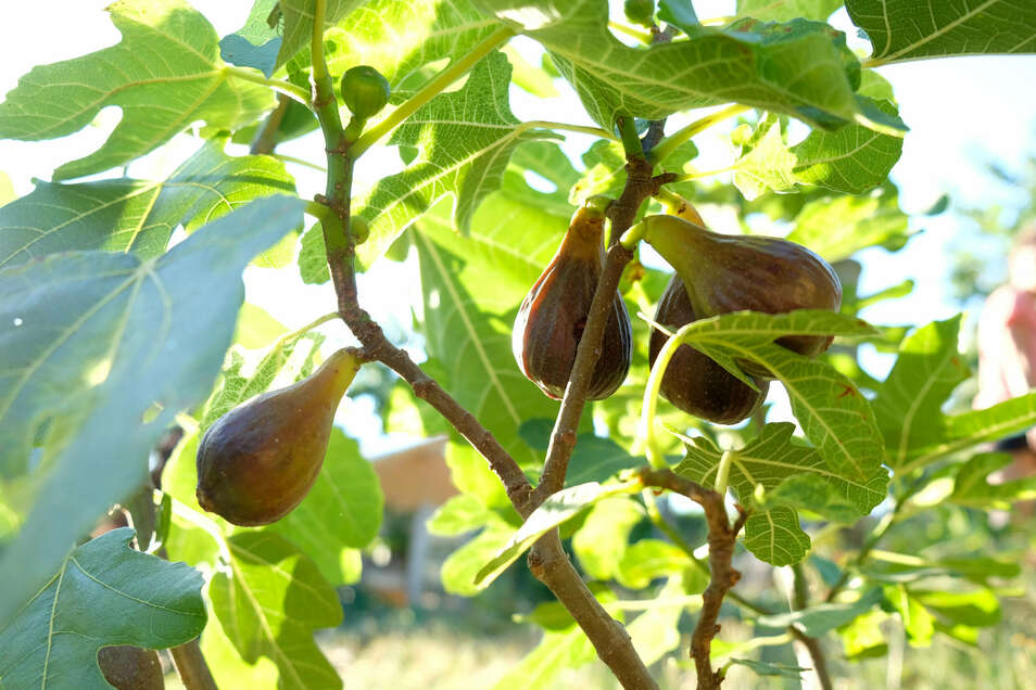 Die Feigen sind reif. Das Bäumchen hat Anne Hübschmann in einem Baumarkt gekauft – vor drei Jahren. Stolz berichtet sie, dass die Pflanze bislang alle Winter im Freien gut überstanden hat. Aber auch Kiwi, Mirabellen, Pfirsiche und Kaki-Früchte lassen sich am Hang an der Schreberstraße in Meißen ernten.
