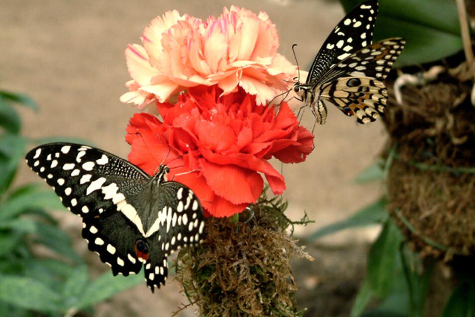 Impression aus dem Schmetterlingshaus Jonsdorf